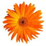 Πορτοκαλί λουλούδι μαργαριτών gerbera που απομονώνεται στην άσπρη ανασκόπηση Στοκ φωτογραφία με δικαίωμα ελεύθερης χρήσης