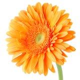 Πορτοκαλί λουλούδι μαργαριτών gerbera Στοκ εικόνα με δικαίωμα ελεύθερης χρήσης