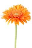 Πορτοκαλί λουλούδι μαργαριτών gerbera Στοκ εικόνες με δικαίωμα ελεύθερης χρήσης