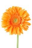 Πορτοκαλί λουλούδι μαργαριτών gerbera Στοκ φωτογραφία με δικαίωμα ελεύθερης χρήσης
