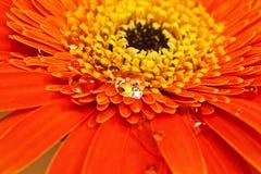 Πορτοκαλί λουλούδι με την κινηματογράφηση σε πρώτο πλάνο απελευθερώσεων ύδατος Στοκ φωτογραφία με δικαίωμα ελεύθερης χρήσης