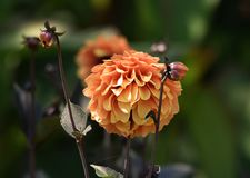 Πορτοκαλί λουλούδι νταλιών Στοκ εικόνα με δικαίωμα ελεύθερης χρήσης
