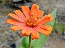 Πορτοκαλί λουλούδι που ανθίζει στον κήπο Στοκ Φωτογραφία