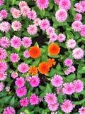 Πορτοκαλί λουλούδι στα ρόδινα λουλούδια στοκ εικόνες