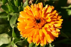 Πορτοκαλί λουλούδι στον ήλιο Στοκ εικόνα με δικαίωμα ελεύθερης χρήσης