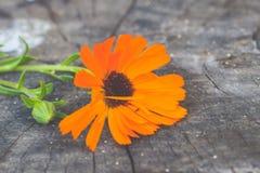 Πορτοκαλί λουλούδι στο ξύλινο υπόβαθρο Στοκ εικόνα με δικαίωμα ελεύθερης χρήσης
