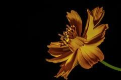 Πορτοκαλί λουλούδι στο σκοτάδι στοκ εικόνες με δικαίωμα ελεύθερης χρήσης
