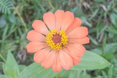 Πορτοκαλί λουλούδι της Zinnia Στοκ εικόνα με δικαίωμα ελεύθερης χρήσης