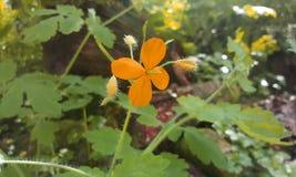 Πορτοκαλί λουλούδι Όμορφος κήπος λουλουδιών στοκ εικόνες με δικαίωμα ελεύθερης χρήσης