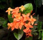 Πορτοκαλί λουλούδι coccinea Ixora Στοκ Εικόνες