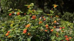 Πορτοκαλί λουλούδι Lantana σε εγκαταστάσεις Στοκ Φωτογραφίες