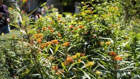 Πορτοκαλί λουλούδι Lantana σε εγκαταστάσεις Στοκ εικόνες με δικαίωμα ελεύθερης χρήσης