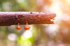 Πορτοκαλί μανιτάρι ή μανιτάρι CHAMPAGNE στο τροπικό δάσος κάτω από την ηλιοφάνεια στοκ φωτογραφία με δικαίωμα ελεύθερης χρήσης