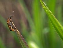 Πορτοκαλί μαύρο έντομο στην ξηρά χλόη στοκ εικόνες με δικαίωμα ελεύθερης χρήσης