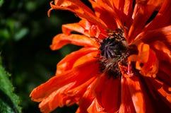 Πορτοκαλί μεγάλο άγριο λουλούδι παπαρουνών το Μάιο Όμορφη κινηματογράφηση σε πρώτο πλάνο πετάλων λουλουδιών άνοιξη Στοκ φωτογραφία με δικαίωμα ελεύθερης χρήσης