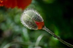 Πορτοκαλί μικρό άγριο λουλούδι παπαρουνών στην άνθιση Έντομο μυρμηγκιών στον όμορφο μίσχο λουλουδιών άνοιξη, κινηματογράφηση σε π Στοκ φωτογραφία με δικαίωμα ελεύθερης χρήσης