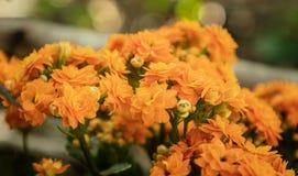 Πορτοκαλί να φλεθεί Katy ή άνθιση λουλουδιών της Panda στοκ εικόνα