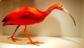 Πορτοκαλί πουλί στο έκθεμα επίδειξης στοκ φωτογραφία με δικαίωμα ελεύθερης χρήσης