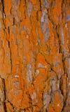 πορτοκαλί πρότυπο φλοιών Στοκ Φωτογραφίες