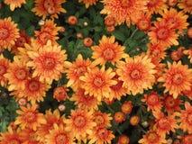 Πορτοκαλί φυσικό υπόβαθρο χρυσάνθεμων στοκ φωτογραφία με δικαίωμα ελεύθερης χρήσης