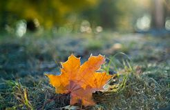 Πορτοκαλί φύλλο σφενδάμου στη χλόη στο hoarfrost στοκ φωτογραφίες