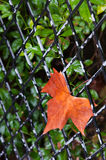 Πορτοκαλί φύλλο Στοκ Εικόνες