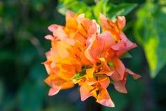 Πορτοκαλί Bougainville στοκ φωτογραφία