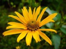 Πορτοκαλί Coneflower, fulgida Rudbeckia ή perenniall coneflower Στοκ Εικόνες