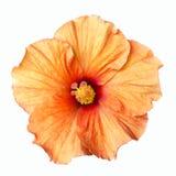 Πορτοκαλί hibiscus λουλούδι που απομονώνεται Στοκ εικόνες με δικαίωμα ελεύθερης χρήσης