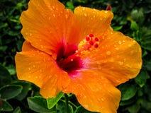 Πορτοκαλί hibiscus λουλούδι Στοκ Εικόνα