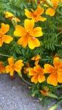 Πορτοκαλί marigold στοκ εικόνες με δικαίωμα ελεύθερης χρήσης