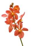 πορτοκαλί orchid Στοκ Φωτογραφία