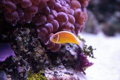 Πορτοκαλί perideraion Amphiprion μεφιτίδων clownfish αποκαλούμενο Στοκ φωτογραφία με δικαίωμα ελεύθερης χρήσης