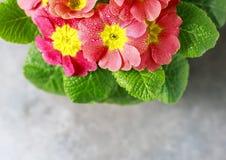 Πορτοκαλί primrose λουλούδι άνοιξη Primula vulgaris υβριδικό σε δοχείο Μακροεντολή διάστημα αντιγράφων Στοκ Φωτογραφίες