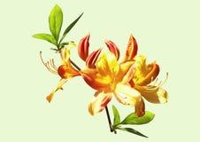 πορτοκαλί rhododendron λουλουδιών κίτρινο απεικόνιση αποθεμάτων