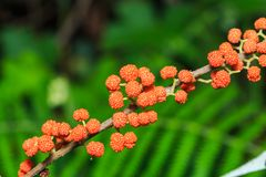 Πορτοκαλιά άγρια φρούτα longifolia της Rhea Debregeasia Στοκ Εικόνες