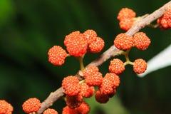 Πορτοκαλιά άγρια φρούτα longifolia της Rhea Debregeasia Στοκ Εικόνα