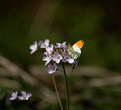πορτοκαλιά άκρη πεταλού&delta Στοκ Φωτογραφία