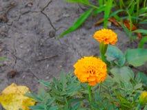 Πορτοκαλιά άνθη σε έναν χορτοτάπητα που ανθίζει το καλοκαίρι Στοκ εικόνες με δικαίωμα ελεύθερης χρήσης