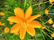Πορτοκαλιά άνθιση λουλουδιών μετά από τη βροχή Στοκ εικόνες με δικαίωμα ελεύθερης χρήσης