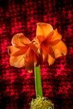 Πορτοκαλιά άνθιση amaryllis με τα λωρίδες Φυσικό ανθίζοντας άνθος λουλουδιών Στοκ Φωτογραφίες