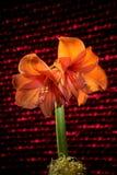 Πορτοκαλιά άνθιση amaryllis με τα λωρίδες Φυσικό ανθίζοντας άνθος λουλουδιών Στοκ φωτογραφία με δικαίωμα ελεύθερης χρήσης