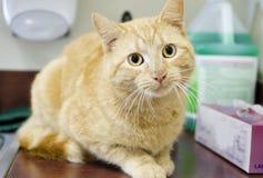Πορτοκαλιά γάτα του Tom στο νεροχύτη κουζινών, ζωικό καταφύγιο ελέγχου στοκ εικόνα