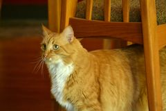 Πορτοκαλιά γάτα Στοκ εικόνες με δικαίωμα ελεύθερης χρήσης