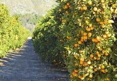πορτοκαλιά δέντρα κήπων Στοκ Εικόνες