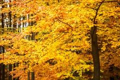 πορτοκαλιά δέντρα λιβαδιών φύλλων σημύδων φθινοπώρου Στοκ Φωτογραφίες