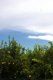 πορτοκαλιά δέντρα φυτειώ&nu στοκ εικόνα