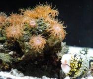 Πορτοκαλιά θάλασσα Anemone με ένα χέλι υποβρύχιο Στοκ Εικόνες