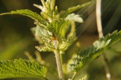 Πορτοκαλιά και πράσινη αράχνη στοκ εικόνα με δικαίωμα ελεύθερης χρήσης