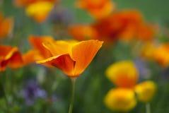 Πορτοκαλιά κινηματογράφηση σε πρώτο πλάνο λουλουδιών παπαρουνών Καλιφόρνιας Στοκ Εικόνα
